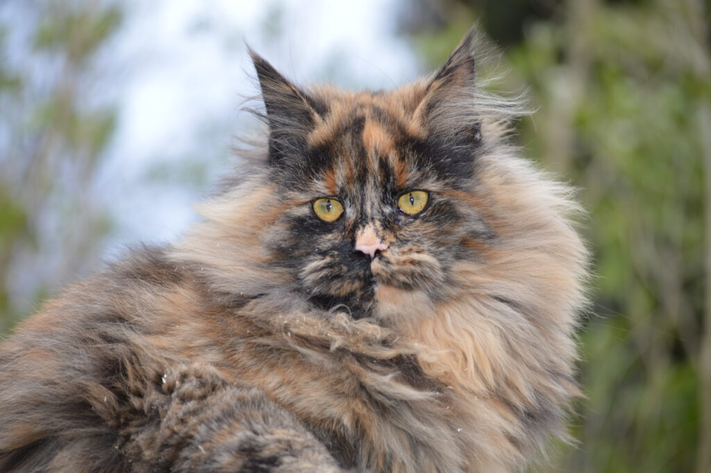 Female Maine Coons